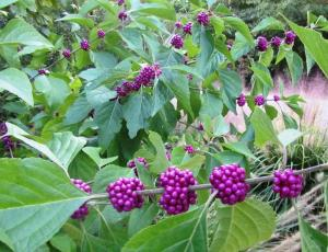 Our Beautyberry shrub, Callicarpa dichotoma produces masses of purple fruit that will provide food for birds after freezing weather (Click photo to enlarge)