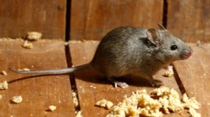 A mouse can squeeze through a dime size hole to gain entry into your home or garage