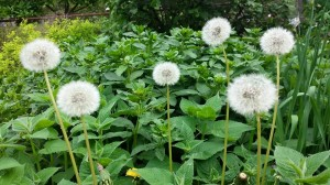 Dandelions spread into ground cover beds via seeds from puffballs.