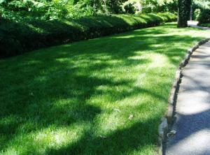This Fescue lawn in Atlanta receives about 4 hours of filtered sunlight a day.