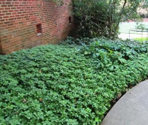 Pachysandra is a good shade ground cover next to this building where there is very little sunlight.