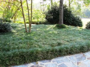 Mondo Grass (also known as Monkey Grass) is a nice ground cover in shady areas where winters are not too severe (best grown in zones 6 thru 11).