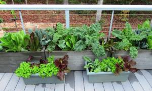 """We get more salad than you can """"shake a stick at"""" from various kinds of lettuce, kale and spinach planted about a month ago. (click photo to enlarge)"""