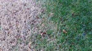 Winter dormant Bermuda on the left and a blend of Fescue/Kentucky Bluegrass on the right