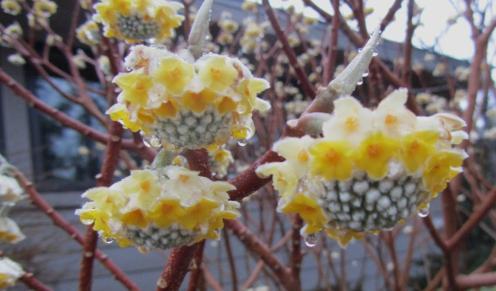 Edgeworthia blooms