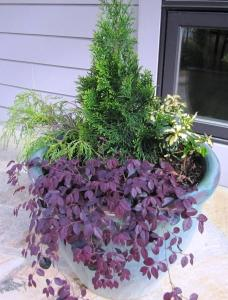 We planted an Emerald Green Arborvitae 'Smaragd' in the center (Zone 4 to 8) surrounded by a Wintercreeper 'Moonshadow' (Zone 4 to 9), a Golden Threadleaf False Cypress 'Filifera Aurea' (Zone 4 to 8), and a Weeping Loropetalum 'Purple Pixie' (Zone 7 to 10) Click photo to enlarge
