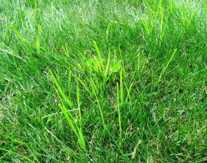 You think you are getting rid of this very pesky weed because it is easy to pull. However, Nutsedge quickly grows back from the bulb-like roots that are left behind in the soil.  (Some folks call this weed Nutgrass)  Click photo to enlarge