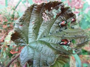 Japanese Beetles lay eggs in your lawn that become grubs in late summer that feed on your grass roots until winter.