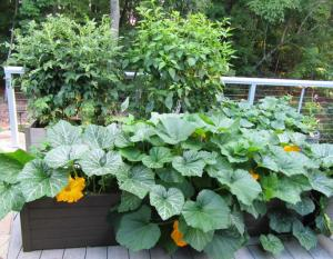"The tomato and pepper plants are supported with cages.  The Winter Squash has expanded across the deck even though it is a ""bush variety"".  (click photo to enlarge)"