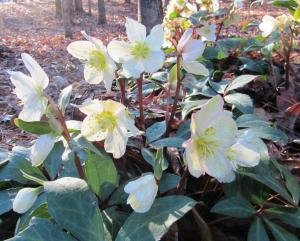 Hellebores, also known as Lenten Rose, bloom during late winter and are totally deer resistant. (click photo to enlarge)