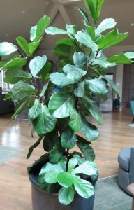 Rita grew this Fiddle Leaf Ficus from a small 8 inch pot over a 6 year period.  She kept it bushy by pruning it a couple of times a year.  (click photo to enlarge)