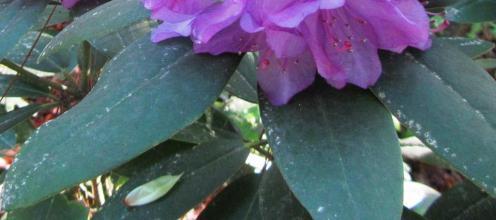 Lacebug damage on Rhododendron